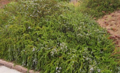 Plant Care for Groundcovers