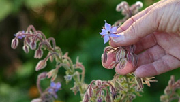 Borage Monthly Plant Care
