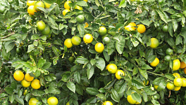 Lemon Tree Monthly Plant Care