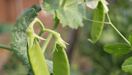 Garden Pea Monthly Plant Care