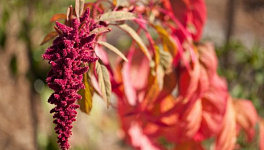 Amaranth Monthly Plant Care