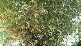Hedge Bamboo Monthly Plant Care