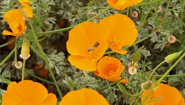 California Poppy Monthly Plant Care