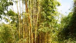 Bamboo Care and Propagating