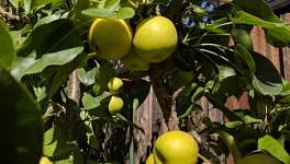Asian Pear Monthly Plant Care