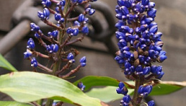 Blue Ginger Monthly Plant Care