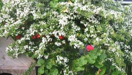 Pyracantha Monthly Plant Care