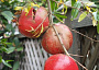 Pomegranate Monthly Plant Care