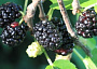 Black Mulberry Monthly Plant Care