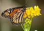 Milkweed Monthly Plant Care
