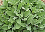 Edible Sage Monthly Plant Care