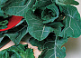 Collards Monthly Plant Care