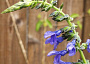 Salvia guaranitica 'Costa Rica Blue'