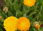 Calendula officinalis Monthly Plant Care Reminders
