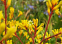 Kangaroo Paw Monthly Plant Care