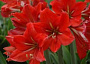 Amaryllis Monthly Plant Care