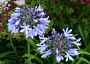 Agapanthus Monthly Plant Care Calendar