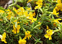 Mimulus Monthly Plant Care
