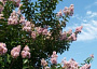 Crape Myrtle Monthly Plant Care