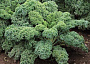 Kale Plant Care - Photo Courtesy Roy Wilburn