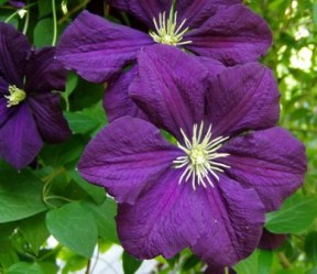 Clematis viticella are exceptional in their vigor, long bloom period, ease of growing, and resistance to disease. Look for the selections 'Etoile Violette' (pictured), 'Madame Julia Correvon (wine red), 'Alba Luxurians' (white), 'Blue Angel' (light blue) and 'Polish Spirit' (purple blue)
